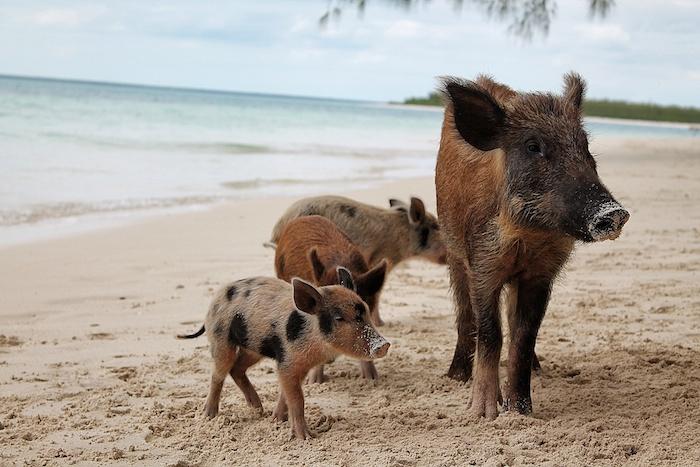 schwimmende schweine exumas