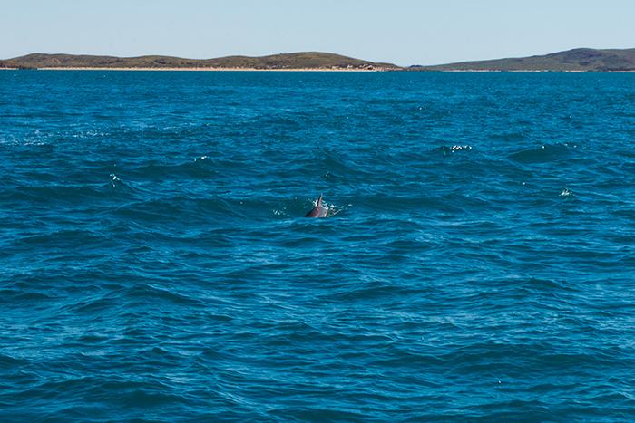 dampier-delfin-westaustralien
