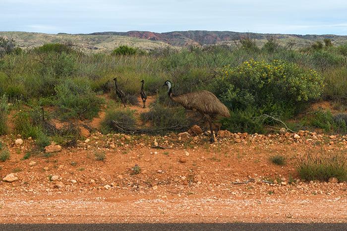 laura-drosse-westaustralien-emu-mit-jungen
