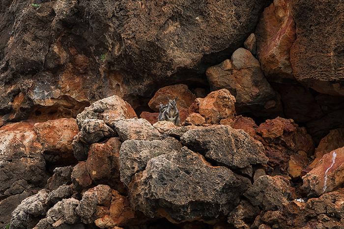 laura-drosse-westaustralien-fels-wallabies