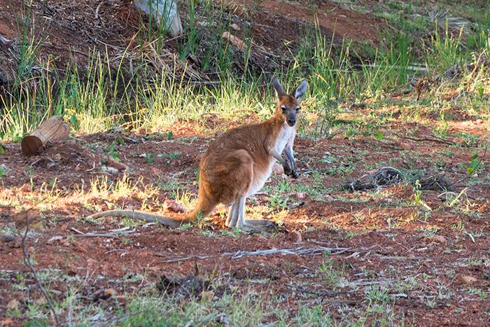 laura-drosse-westaustralien-känguru