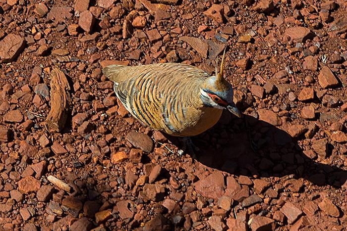 laura-drosse-westaustralien-spinifex-pigeon