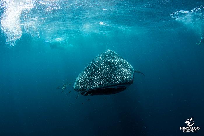 ningaloo-discovery-tours-whaleshark