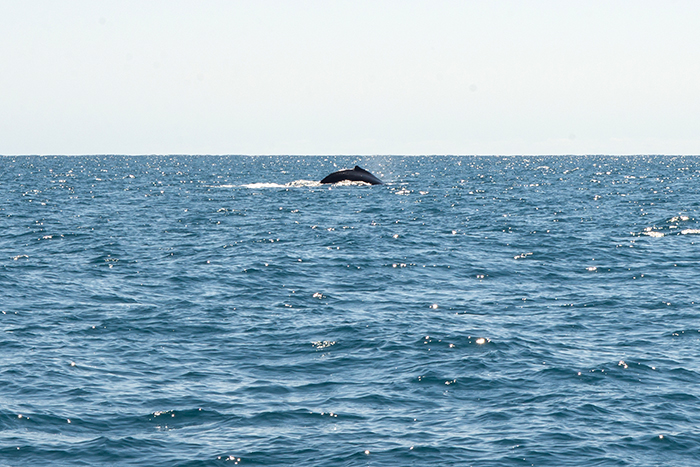 ningaloo-reef-walbeobachtung-