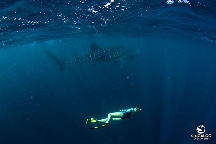 ningaloo-reef-whalesharks