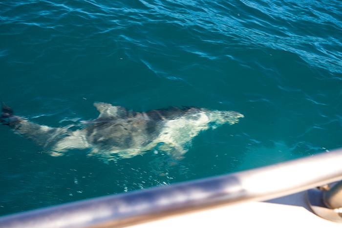 westaustralien-delfin-am-boot