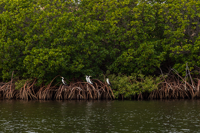 westaustralien-mangroven-vögel
