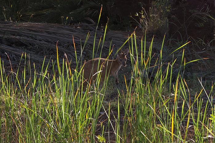 Millstream-Kangaroo-westaustralien