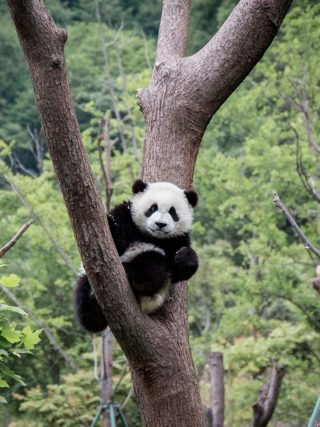 Pandababy im Baum in Wolong