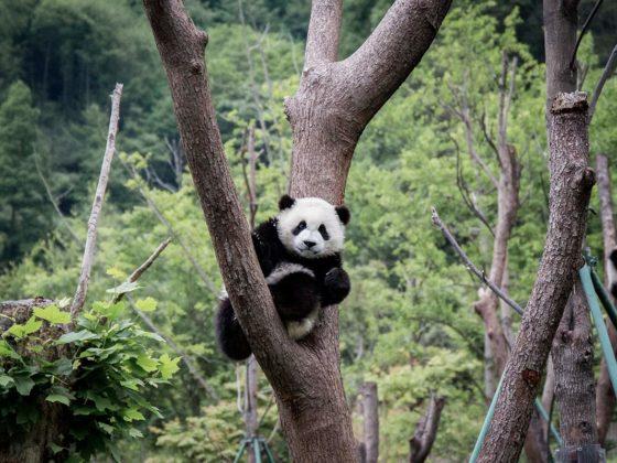 Pandababy im Baum in Wolong