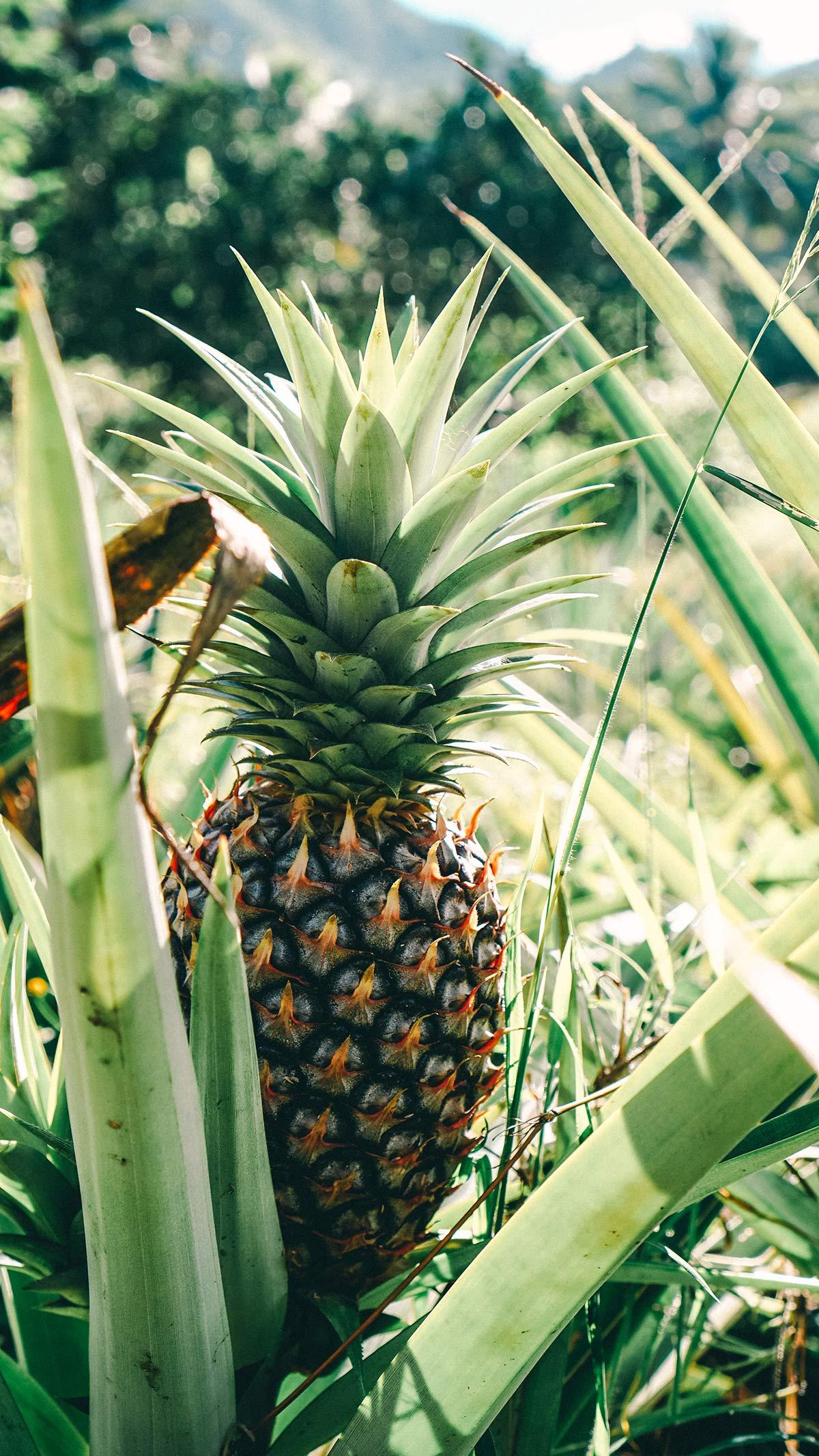 Eco Cycle Tour Ananas Plantage