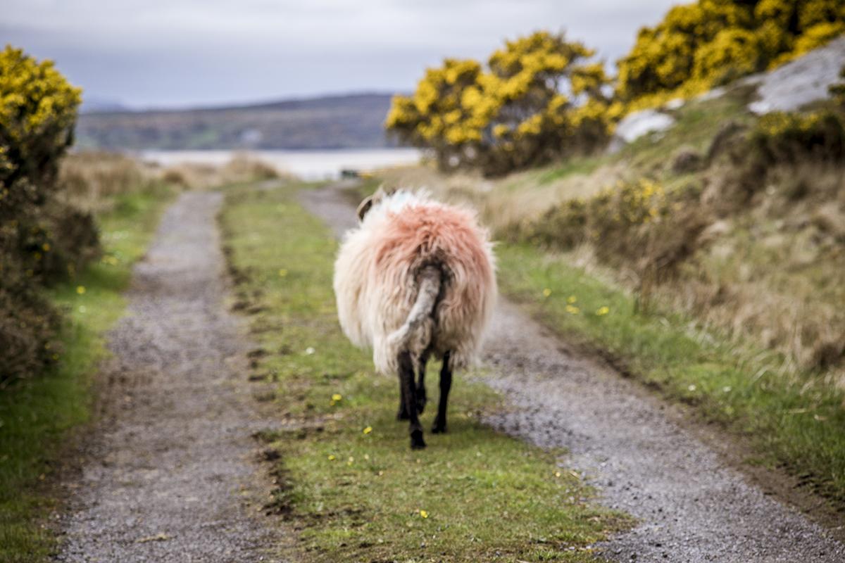 Irland Donegal Owenea River Schaf