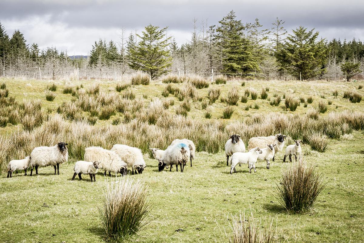 Irland Donegal Owenea River Schaffamilie