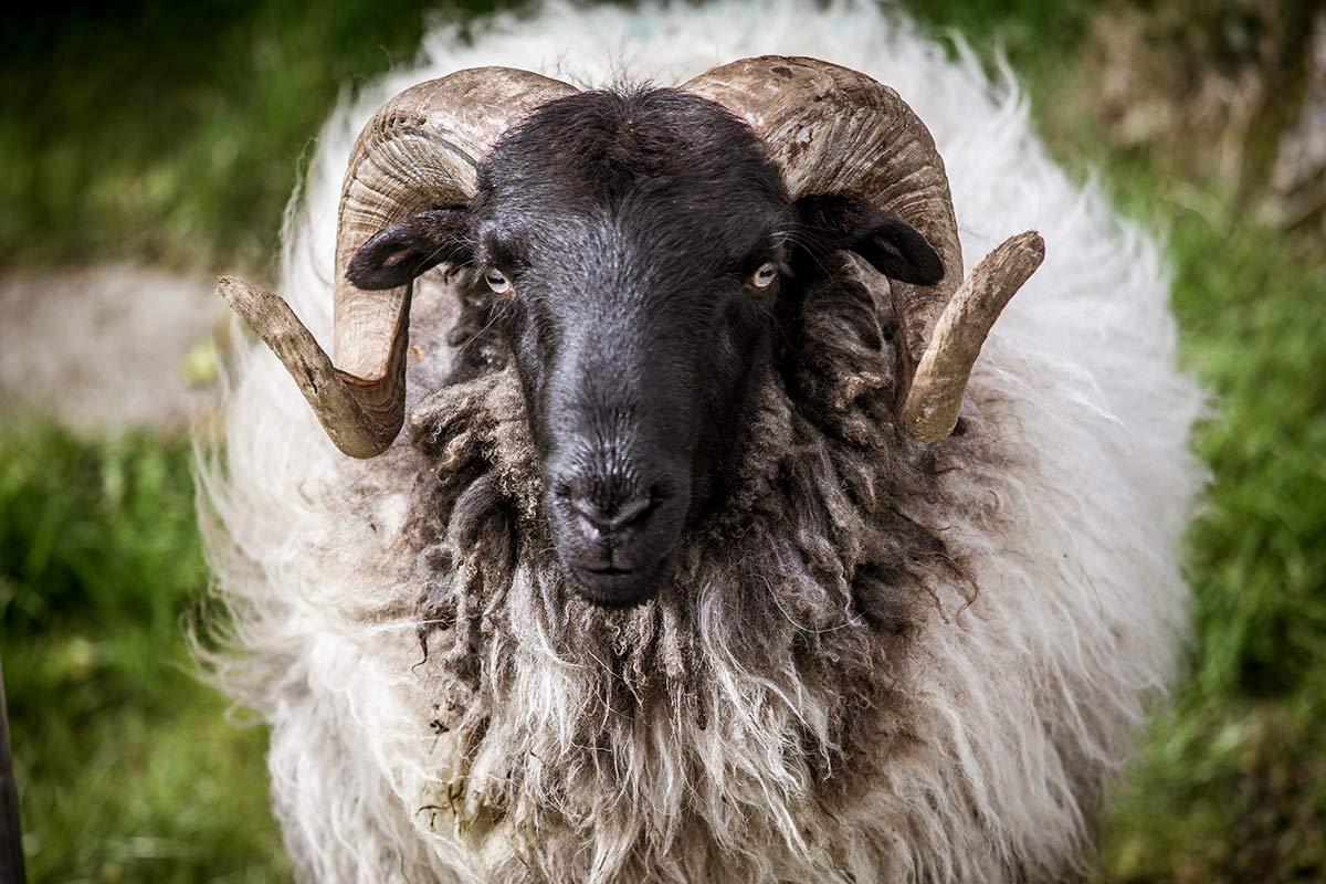 Irland Donegal Schaf