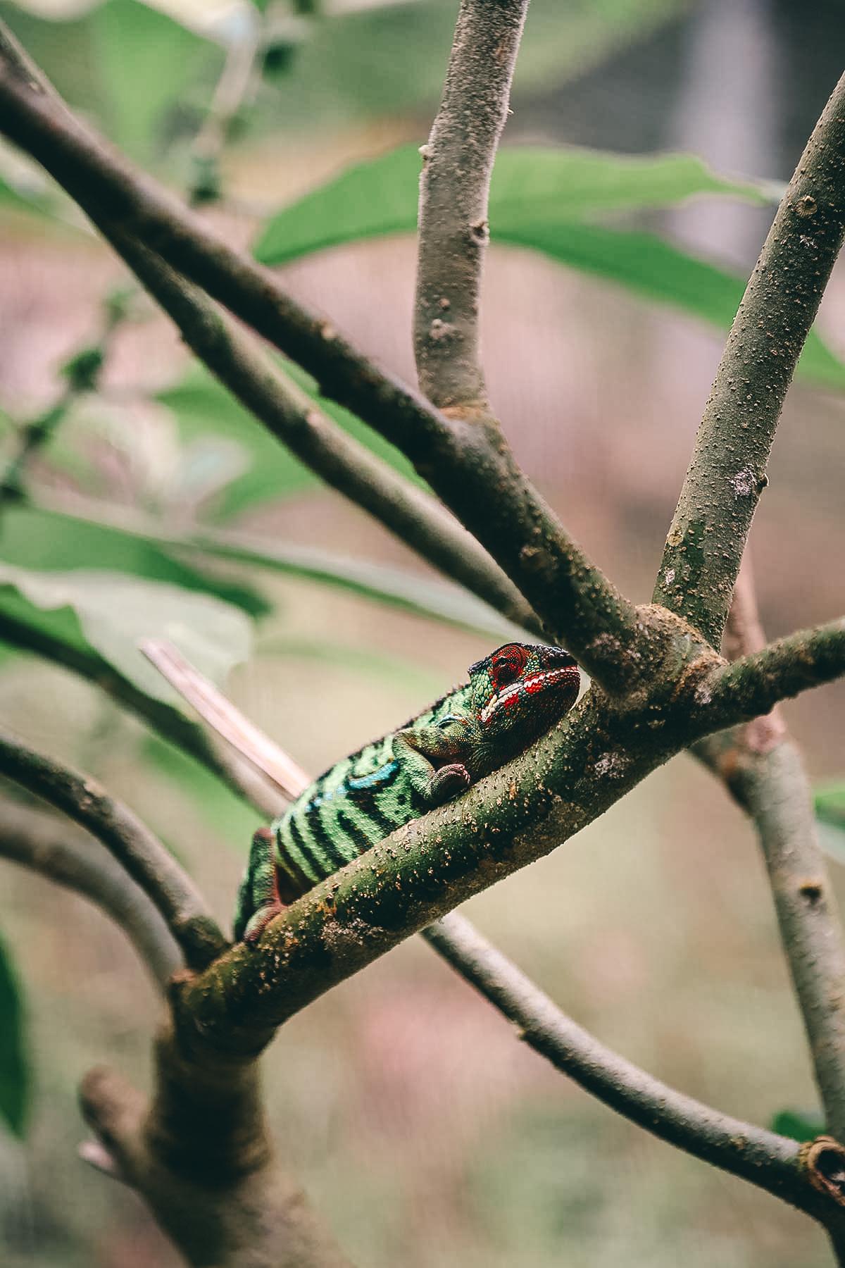Chamaeleon im Dschungel in Madagaskar
