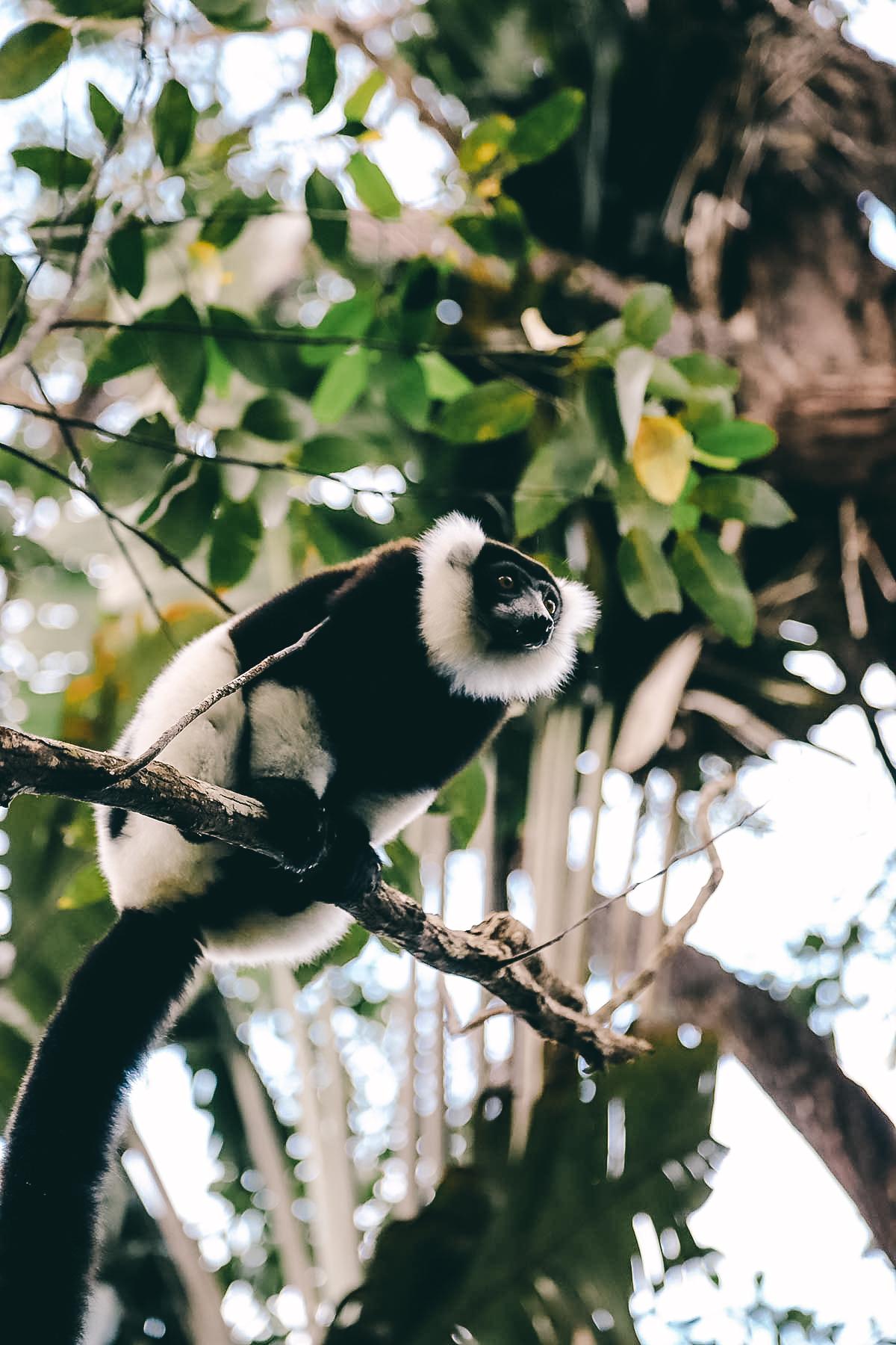 Schwarzweisser Vari in Madagaskar