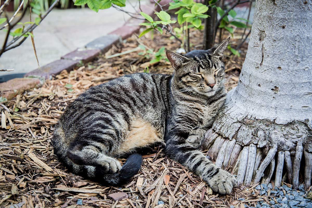 Polydactyle Katze im Garten