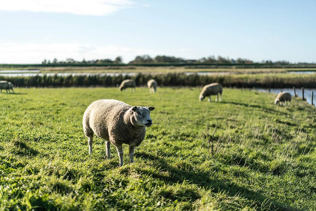 Texel Schafe