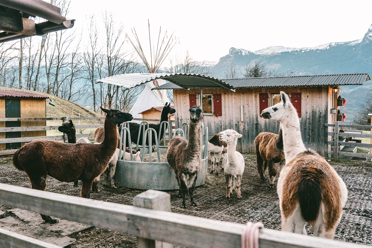 Lama und Alpakahof in Triesenberg