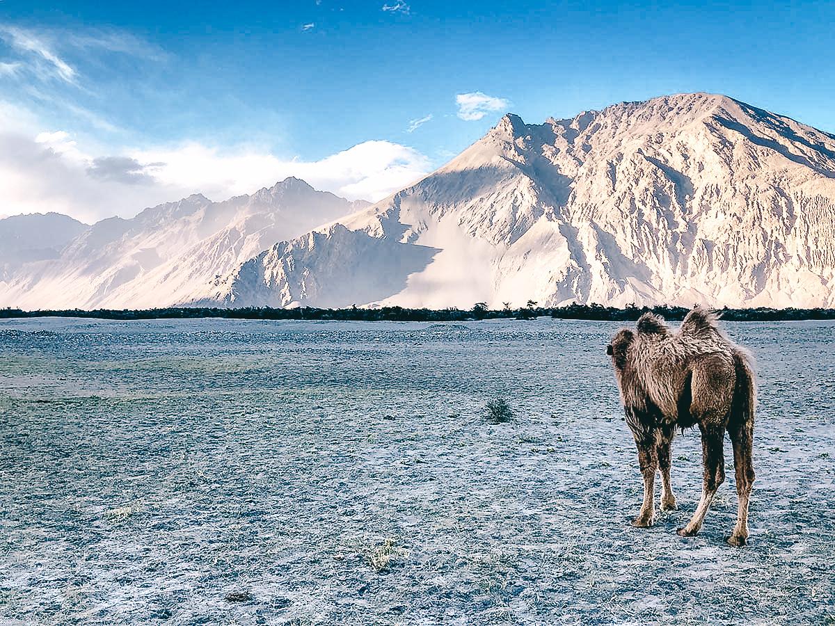 baktrische Kamele im nubra tal