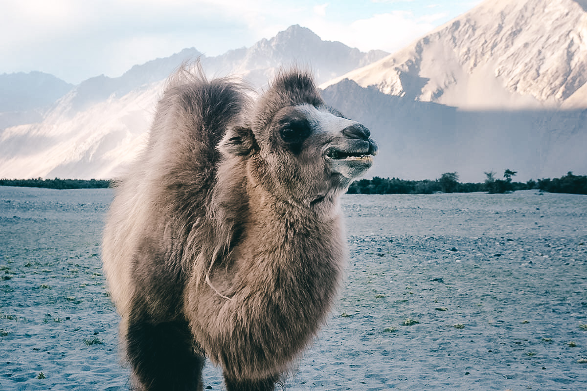 baktrische Kamele nubra tal
