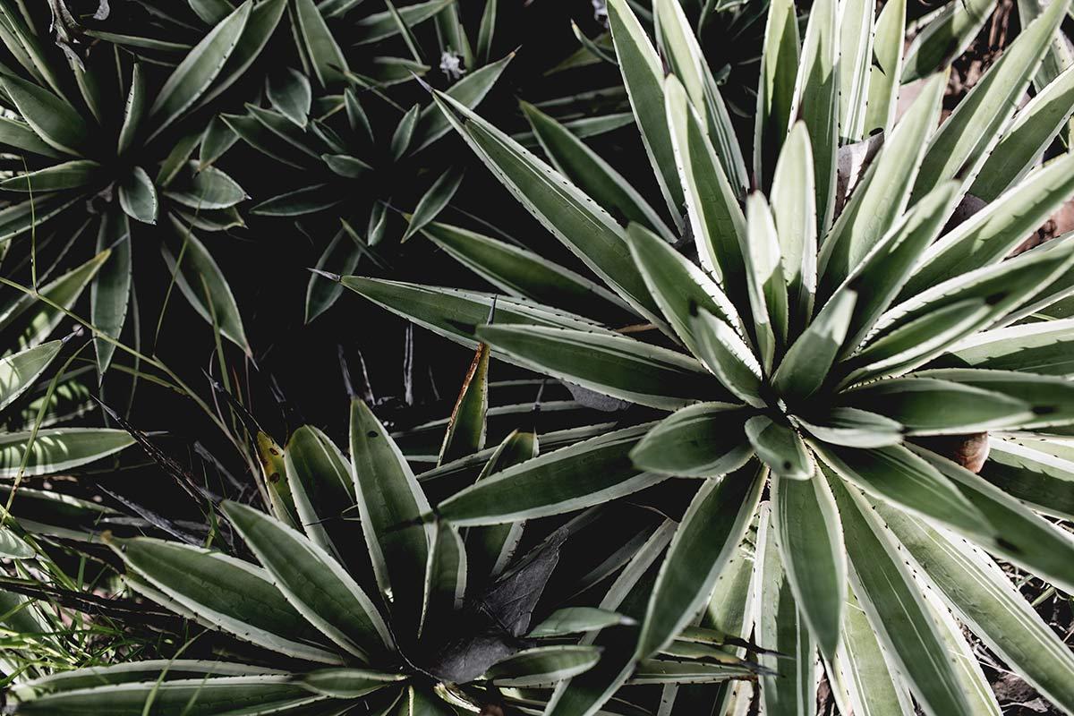 Pflanzen Martinique