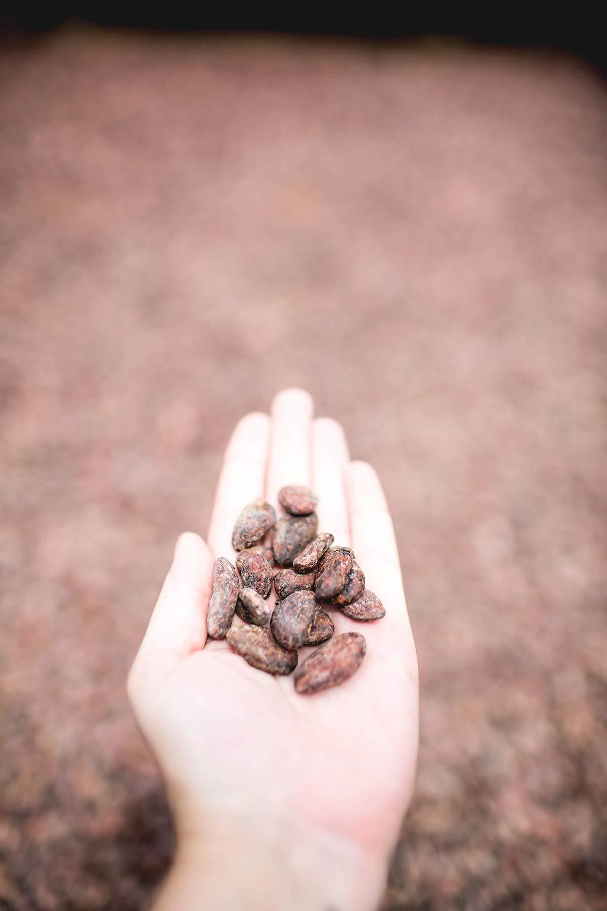 Kakaobohnen Kakaoplantage St Lucia
