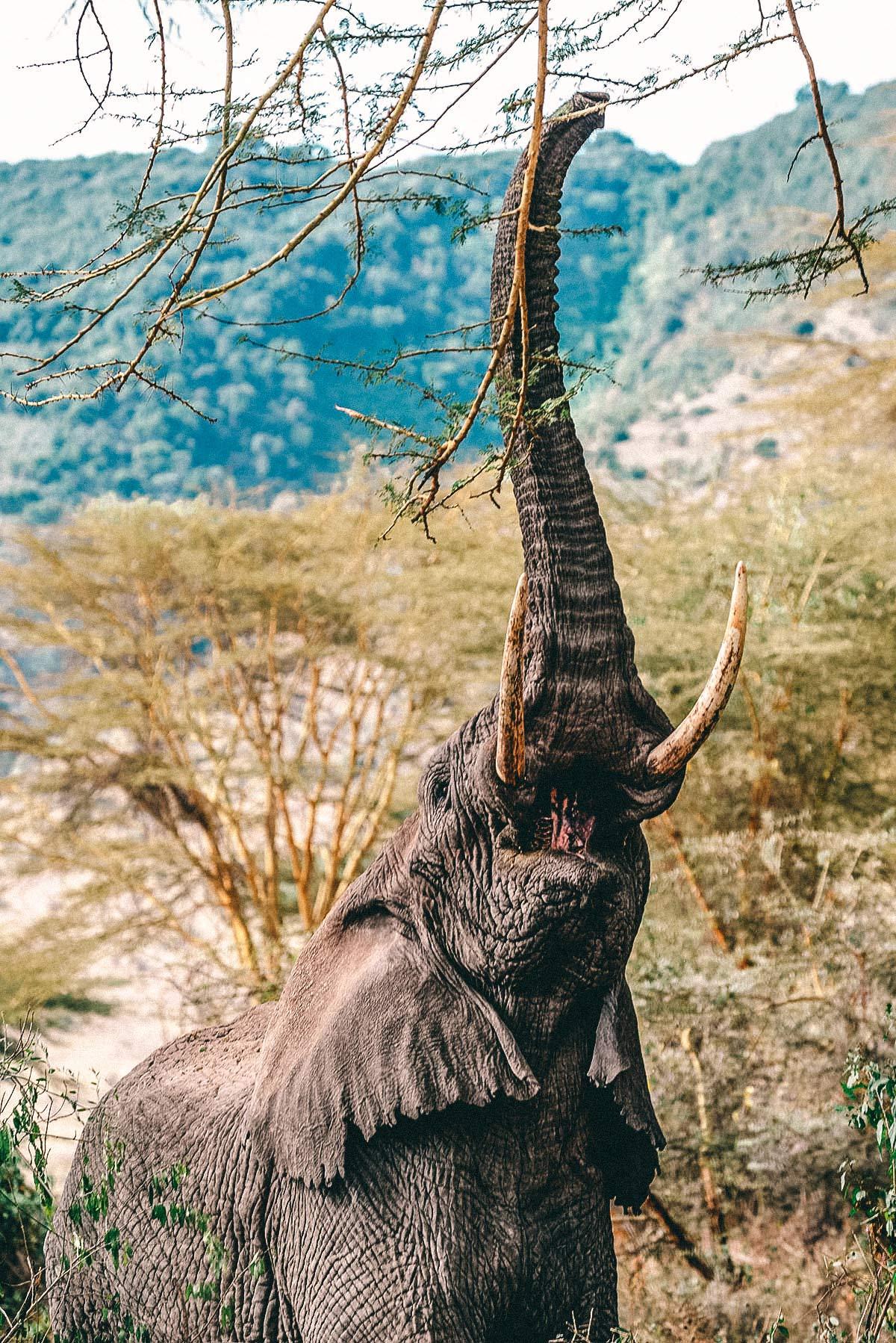 Ngorongoro Nationalpark Elefant
