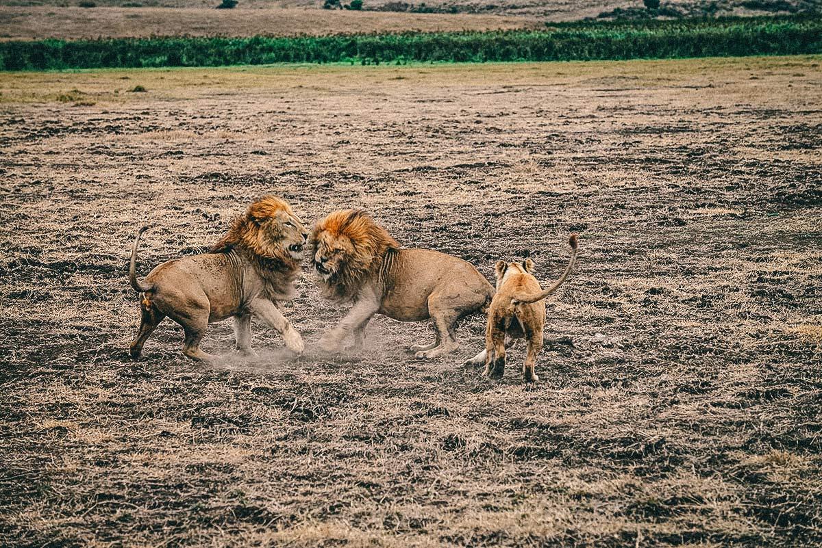 Ngorongoro Nationalpark Loewe