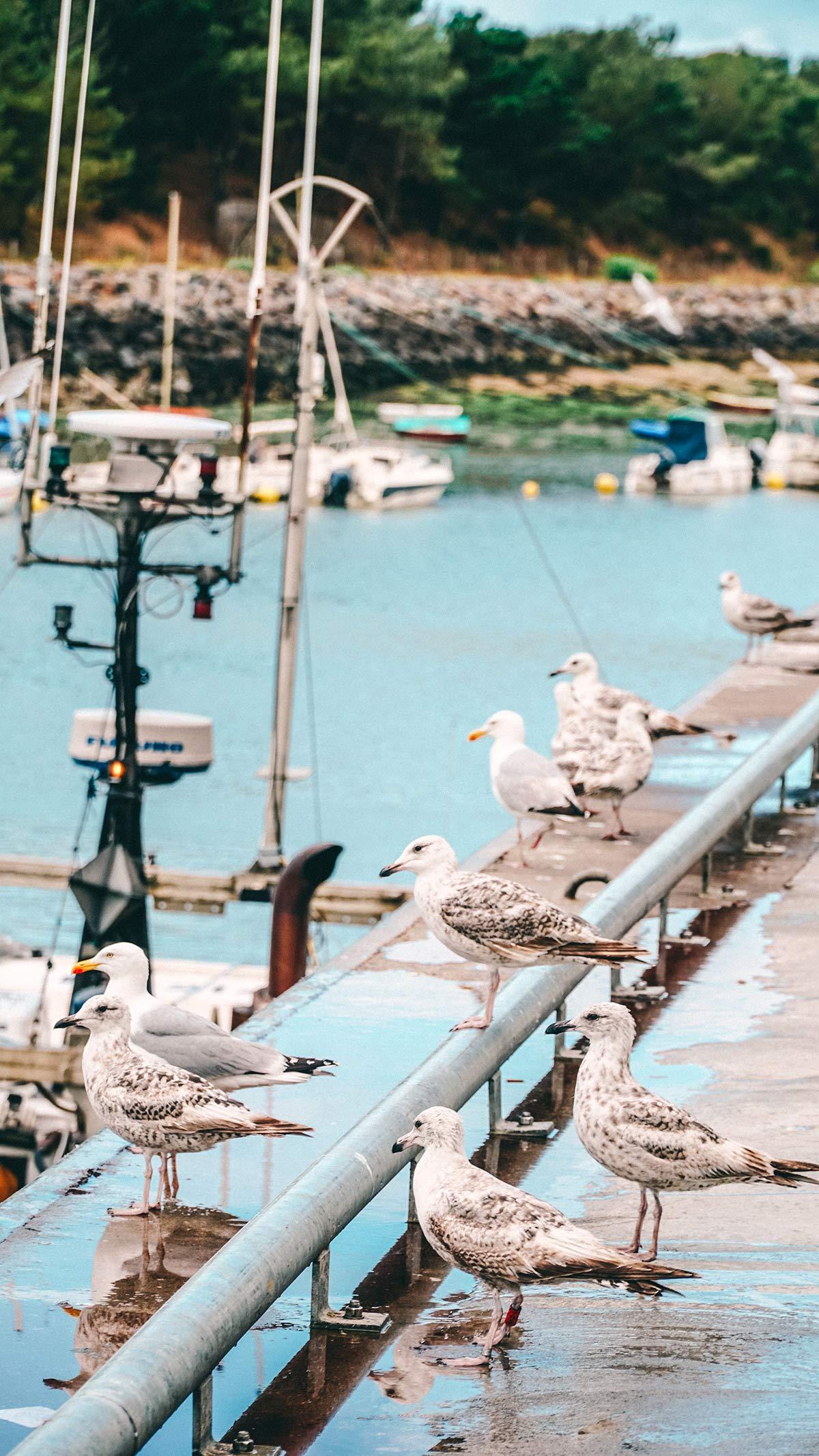Saint Gilles Hafen Mowen