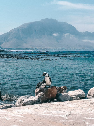 Pinguine in Betty's Bay