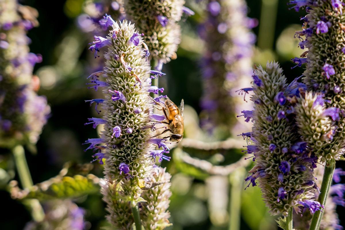 Insektenreichtum im Kraeutergarten in Vals