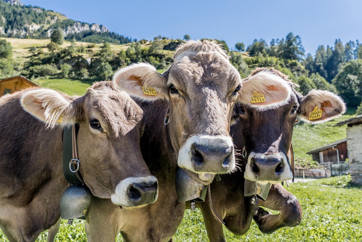 Kuehe in Vals Schweiz