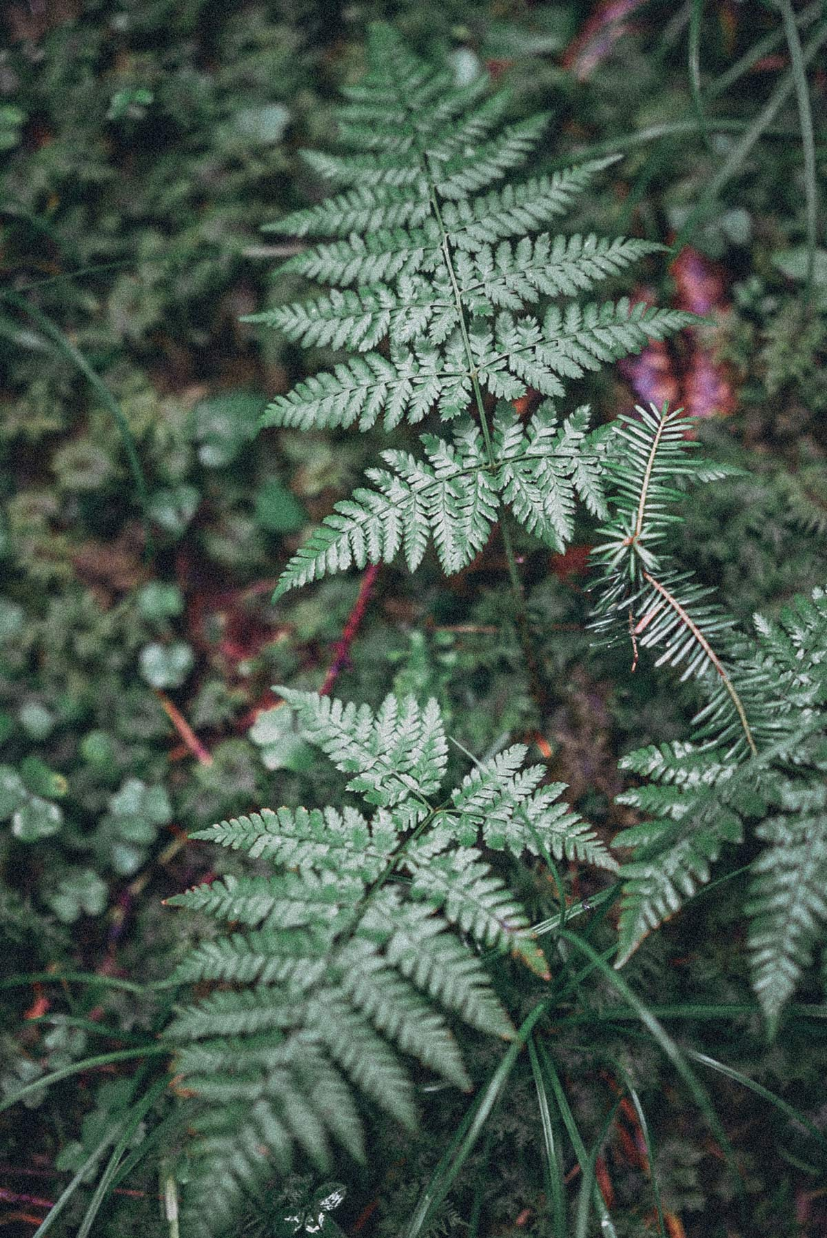 Wald Farn